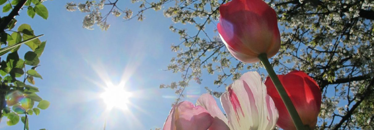 Contacter la société normande du paysage : tulipes au soleil