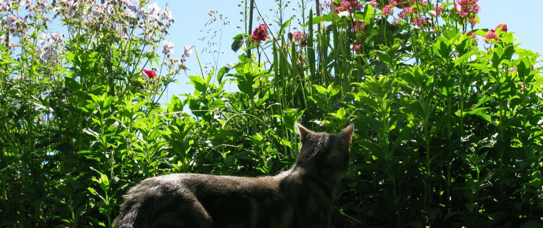 entretien des massifs : un chat guette un massif