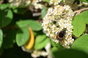 respecter l'homme et la nature : abeille butinant