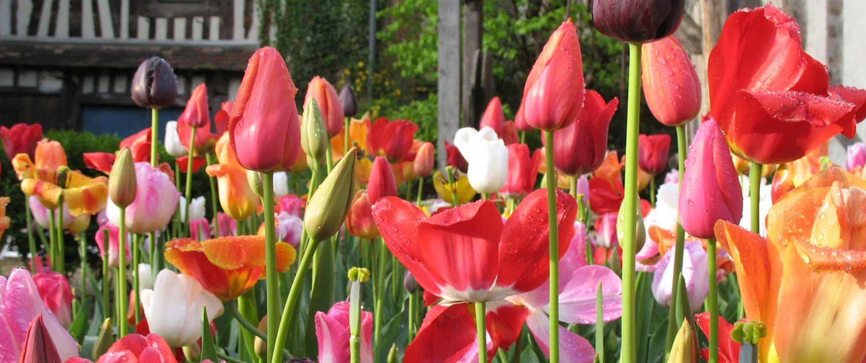 Le jardin facile avec SNPservices : massif de tulipes au printemps