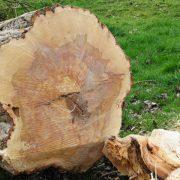 Abattage de gros arbres
