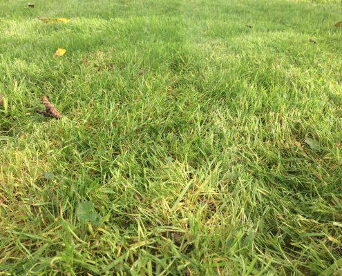 Engazonnement : Herbe fraîchement tondue en gros plan