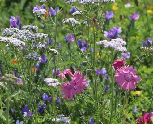 Prairie fleurie améliorée par complantation en mini-motte