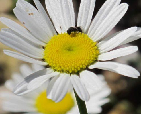 La grande marguerite des pariries fleuries est un hôtel à abeilles