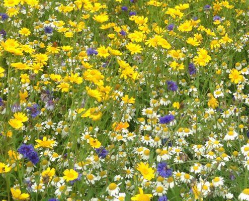 La prairie fleurie : centaurée, camomille et chrysanthème des moissons