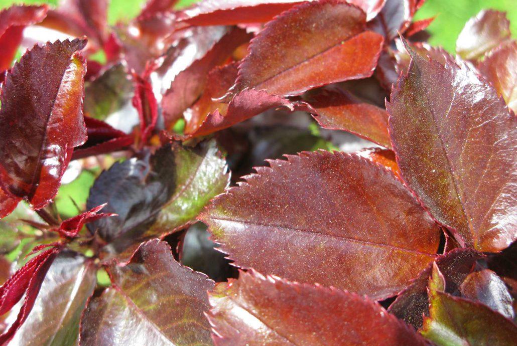Plantation et taille des rosiers soci t normande du paysage - Taille des rosiers periode ...
