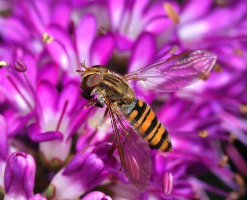 Syrphe pollinisateur
